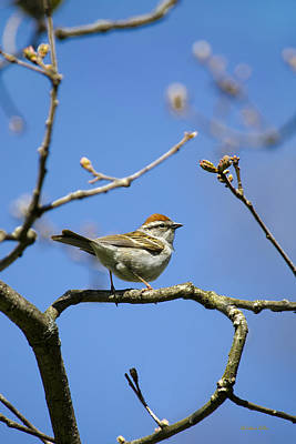 Chipping Sparrow Perched In A Tree Poster