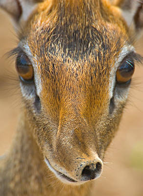 Close-up Of A Kirks Dik-dik, Tarangire Poster
