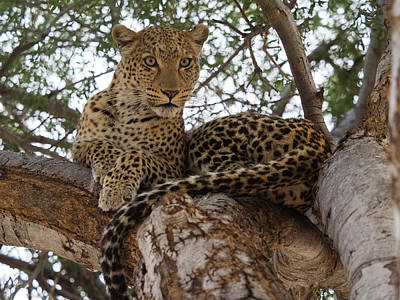 Close-up Of A Leopard Panthera Pardus Poster by Panoramic Images