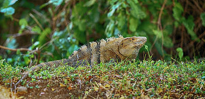 Close-up Of An Iguana, Costa Rica Poster by Panoramic Images
