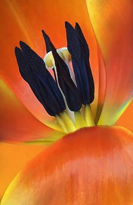 Closeup Of Tulip Poster by Robert Jensen
