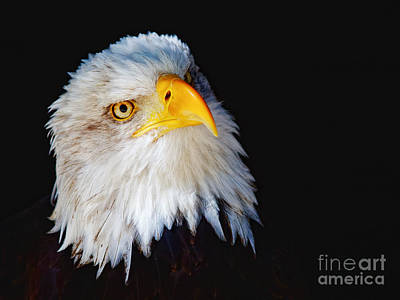 Closeup Portrait Of An American Bald Eagle Poster by Nick  Biemans