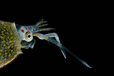 Cockatoo Squid Cranchia Scabra Poster