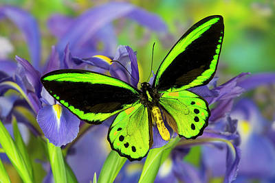 Common Green Birdwing Or The Priams Poster by Darrell Gulin
