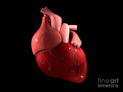 Conceptual Image Of Human Heart Poster by Stocktrek Images