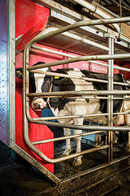 Cow In Milking Machine Poster