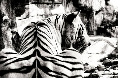 Crouching Tiger Black And White Paintography Poster