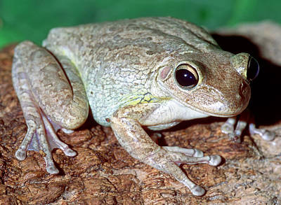 Cuban Tree Frog Osteopilus Poster