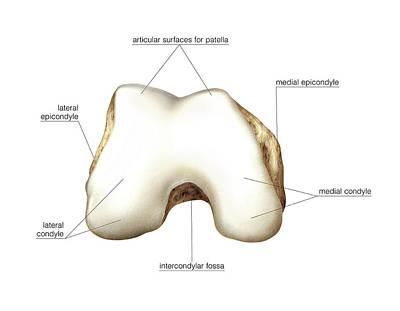 Distal Extremity Of Femur Poster by Asklepios Medical Atlas