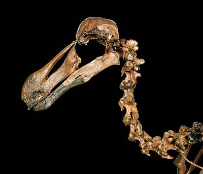 Dodo Skeleton Poster by Natural History Museum, London