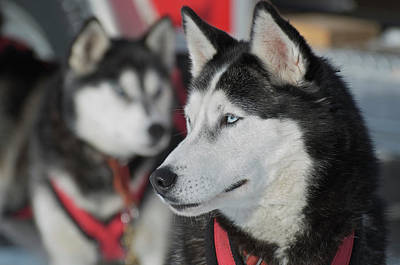 Dog Sled Races Are A Popular Winter Poster