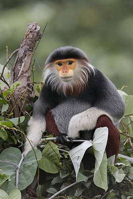 Douc Langur Male Vietnam Poster by Cyril Ruoso