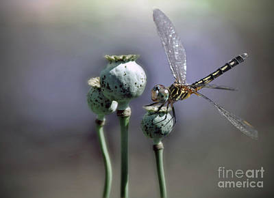 Poster featuring the photograph Dragonfly by Savannah Gibbs