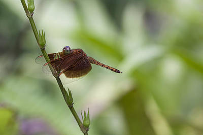 Poster featuring the photograph Dragonfly by Zoe Ferrie
