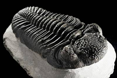 Drotops Megalomanicus Trilobite Fossil Poster