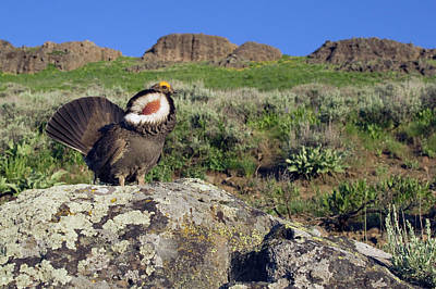 Dusky Grouse, Courtship Display Poster