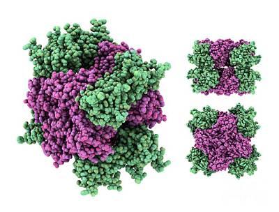 Dynamin Enzyme, Molecular Model Poster by Laguna Design