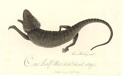 Eastern Bearded Dragon, 18th Century Poster