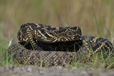 Eastern Diamondback Rattlesnake Poster by Pete Oxford