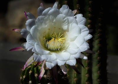 Echinopsis Candicans Poster