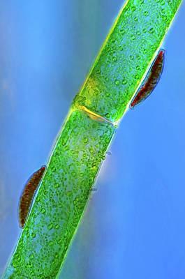Epithemia Diatoms Poster by Marek Mis