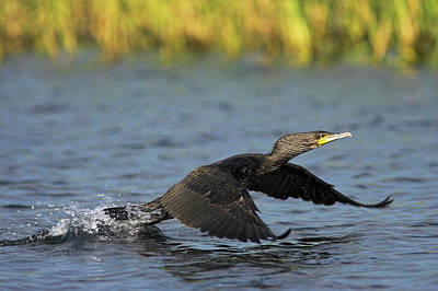 Eurasian Cormorant (phalacrocorax Carbo Poster by Martin Zwick