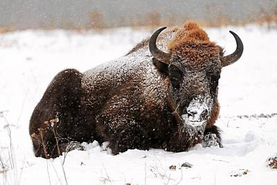 European Bison In Snow Poster