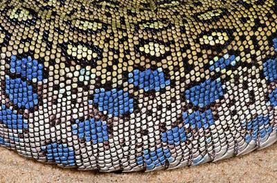 European Eyed Lizard Skin Poster by Nigel Downer