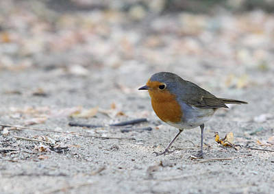Poster featuring the photograph European Robin - Erithacus Rubecula by Jivko Nakev