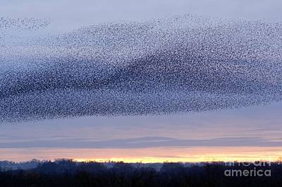 European Starling Flock Poster by Duncan Shaw