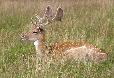 Fallow Deer Buck Poster by Nigel Downer