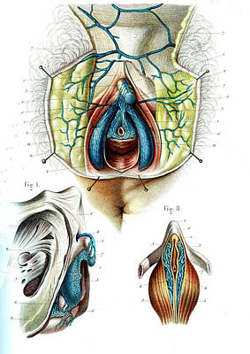Female Genitals Poster by Collection Abecasis