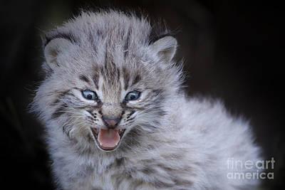 Fierce Little Bobcat Poster