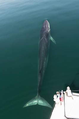 Fin Whale Poster
