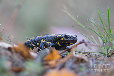 Fire Salamander - Salamandra Salamandra Poster