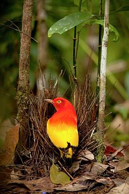 Flame Bowerbird In Bower Animal Art Poster