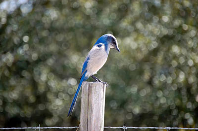 Florida Scrub Jay Poster by Rich Leighton