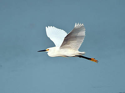 Florida, Venice, Snowy Egret Flying Poster