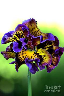 Frilly Pansy Poster