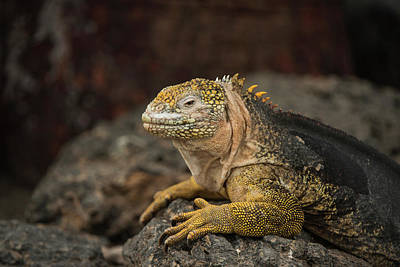 Galapagos Land Iguana (conolophus Poster by Pete Oxford