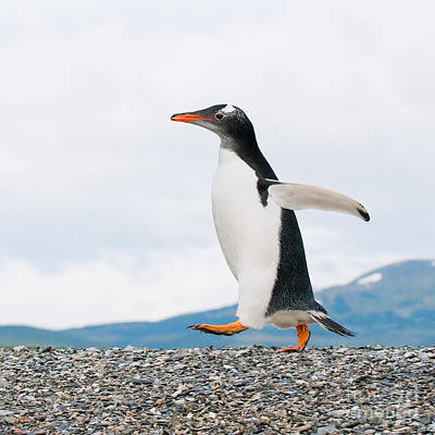 Gentoo Penguin Poster by Konstantin Kalishko