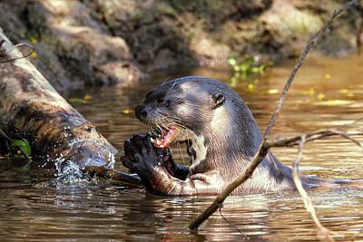 Giant Otter Feeding Poster by Paul Williams