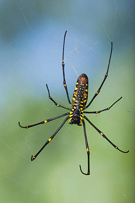 Giant Wood Orb Spider Poster by Robert Jensen