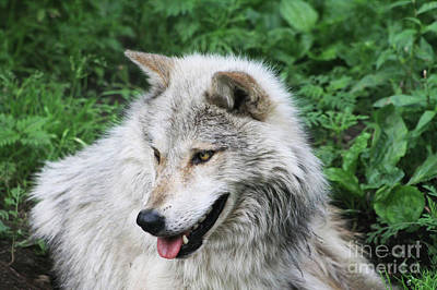 Poster featuring the photograph Gray Wolf by Alyce Taylor