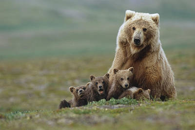 Grizzly Bear Sow W4 Young Cubs Near Poster