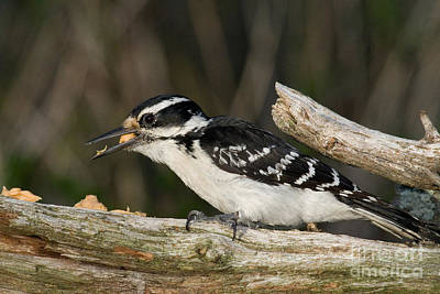 Hairy Woodpecker Poster