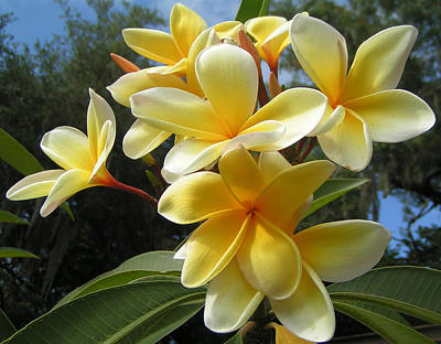 Hawaiian Flowers Poster