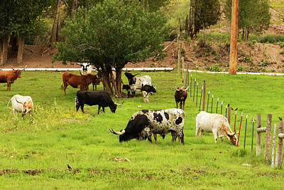Herd Of Texas Longhorn Cattle In Green Poster by Piperanne Worcester