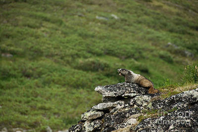 Hoary Marmot Poster by Mark Newman