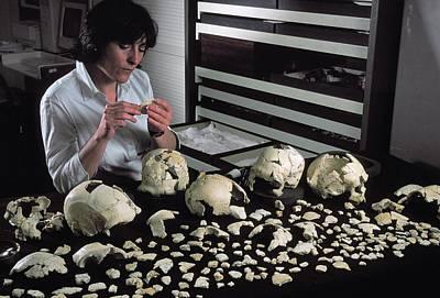 Hominin Skulls From Sima De Los Huesos Poster by Javier Trueba/msf